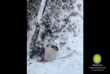 Premier jour de neige de panda au zoo national