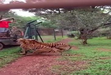 Un tigre saute pour attraper sa nourriture, au ralenti