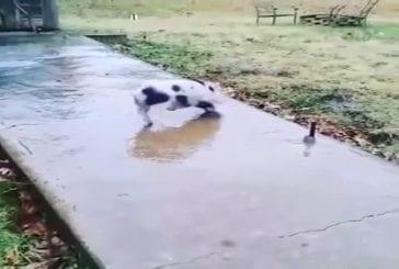Cochon glisse sur le trottoir gelé