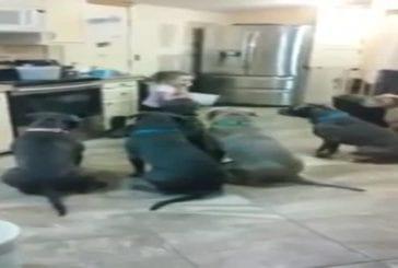 Quatre années jeune fille de contrôler cinq pit-bulls