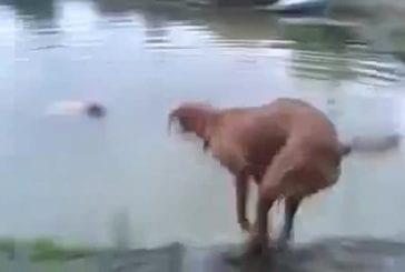 Chien sauve son maître de la noyade