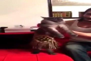 Chat réalise une incroyable danse du ventre