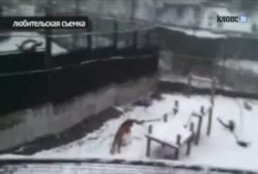 Au zoo russe un tigre a appris à faire des boules de neige