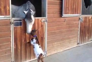 Chevreau tente de coups de tête à cheval adulte