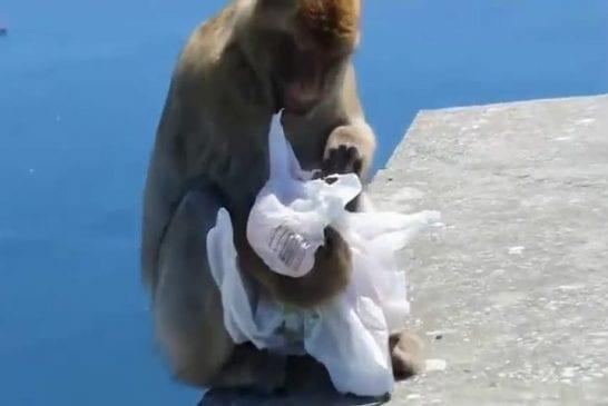 Gibraltar singe voler et manger un sandwich avec désinvolture