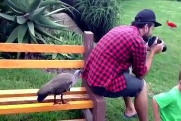 Oiseau pousse gars pour attirer l'attention
