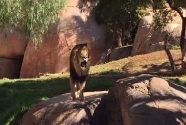 Rugissement d'un lion du zoo de San Diego Safari