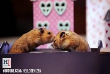 Mise en scène de la rencontre de 2 hamsters