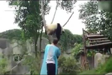 Panda fait un câlin pour descendre de l'arbre