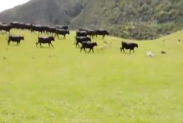 Vaches chassant une voiture rc autour d'un champ