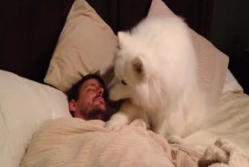Samoyed réveille papa
