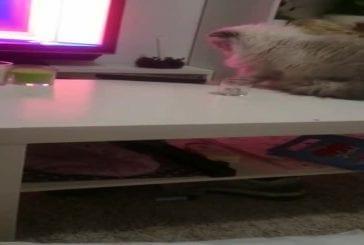 Chat nargue son propriétaire en le regardant droit dans les yeux