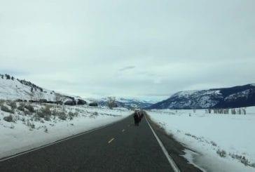 Vous ne croirez pas ce que ces bisons de Yellowstone faire