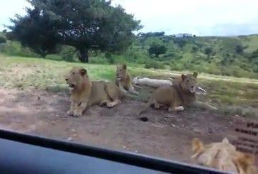 Lion ouvre la porte de la voiture