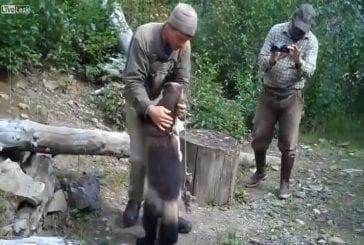 Grand carcajou d'alaska ami avec homme
