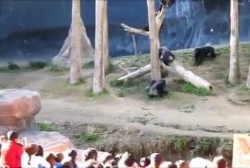 Chimpanzés fous de défense à la la zoo