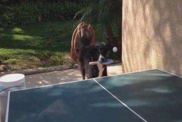 Chien joue au tennis de table