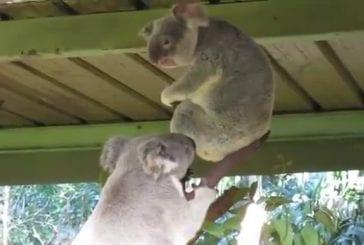 Incroyable combat de koala