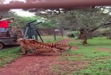 Tigre en mode bête sauvage