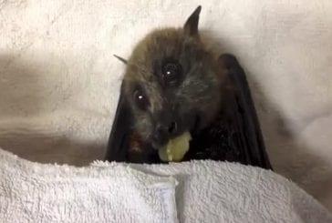 Chauve-souris-Fox mange des raisins