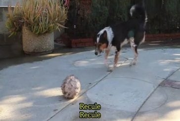 Le chien le plus intelligent du monde