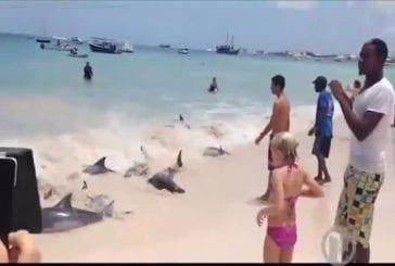 Sauvetage de dauphins sur la plage Burke des Barbades